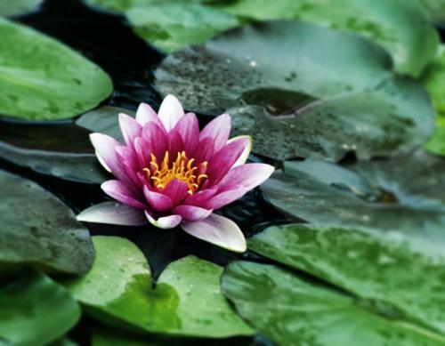 两者都属睡莲科植物,莲花的叶片表面有绒毛